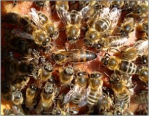 Natürliche Königinnenvermehrung